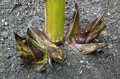 Himalayan Wall Art - Photograph - Offest Bulbs Of Cardiocrinum Giganteum by Dr Jeremy Burgess/science Photo Library
