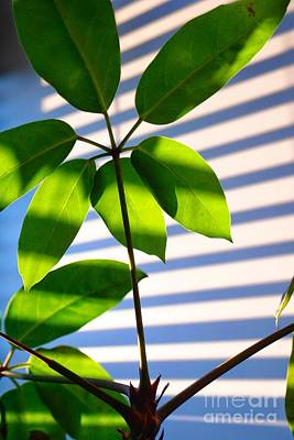 Photograph - Office After-hours - Plant And Window Blind Shadows - Late-day Sun - Green by Miriam Danar