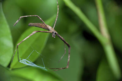 Net Photograph - Ogre-faced Spider by Melvyn Yeo