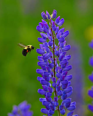 Photograph - Oh Bee-have by Tony Beck