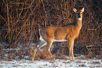 Photograph - Oh Deer by Kristina Austin Scarcelli