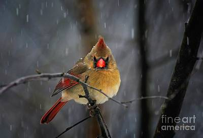 Birds In Snow Wall Art - Photograph - Oh No Not Again by Lois Bryan