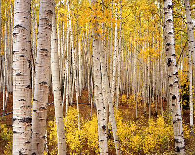 Photograph - Ohio Pass Aspens by Ray Mathis