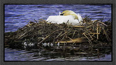Mute Swan Photograph - Oil Painting Nesting Swan Michigan by LeeAnn McLaneGoetz McLaneGoetzStudioLLCcom