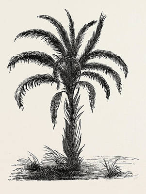 Occur Drawing - Oil-palm Eloeis Guineensis. Elaeis Is A Genus Of Palms by Litz Collection