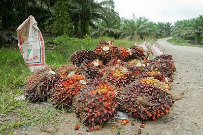 Agricultural Industry Wall Art - Photograph - Oil Palm Fruit by Scubazoo/science Photo Library