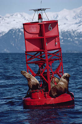 Exxon Valdez Photograph - Oil Stained Stellers Sea Lions Prince by Flip Nicklin