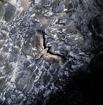 Ventral View Photograph - Oilbird Flying In Cave by Jan Lindblad
