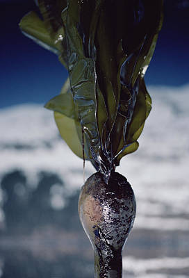 Exxon Valdez Photograph - Oiled Kelp From Exxon Valdez Spill by Flip Nicklin