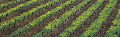Repetition Photograph - Oilseed Rape With Grape Vines by Panoramic Images
