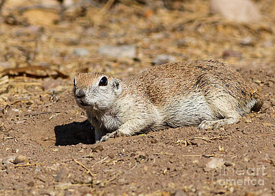 Round-tailed Ground Squirrel Photograph - Ok 1 More Photo Before I Go..... by Carl Jackson