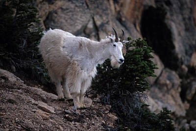 Goat Wall Art - Photograph - Okanogan National Forest by Peter Essick