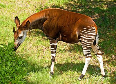 Okapi Art Print by Millard H. Sharp
