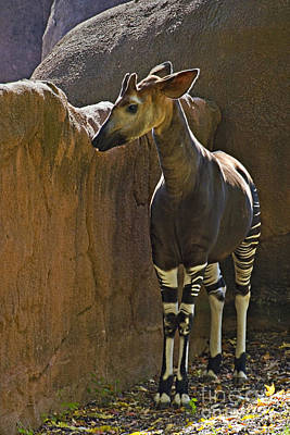 Photograph - Okapi - Walter Herrit by Walter Herrit