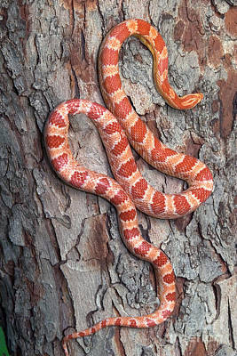 Photograph - Okeetee Corn Snake by Kenneth M Highfill