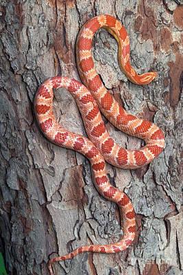 Corn Snake Photograph - Okeetee Corn Snake by Kenneth M Highfill