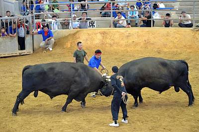 Photograph - Okinawan Culture Bull Versus Bull Okinawan Bullfighting by Jeff at JSJ Photography