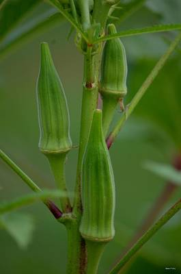 Photograph - Okra Abstract by Maria Urso