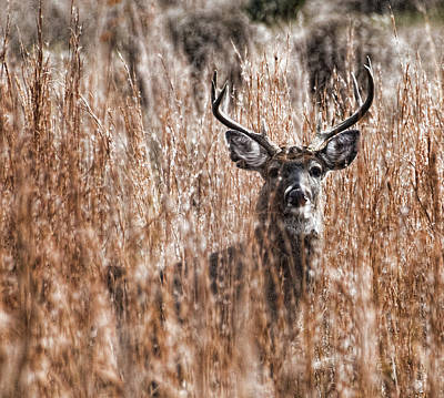 Photograph - Old Buck by Barry Cole
