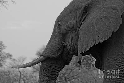 Photograph - Old Bull Elephant by Mareko Marciniak