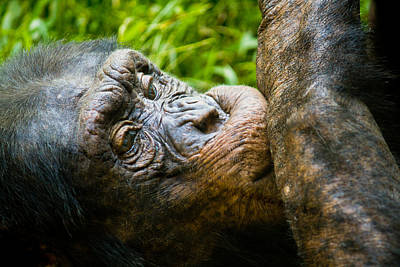 Photograph - Old Chimp by Jonny D