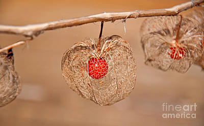 Photograph - Old Chinese Lantern Pod Art Prints by Valerie Garner