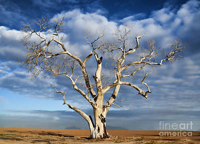 Photograph - Old Dead Sycamore Tree by Donna Greene