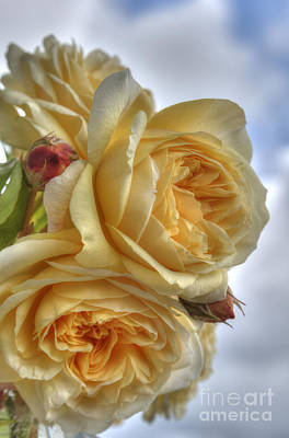 Photograph - Old Fashion Roses by Sarah Schroder