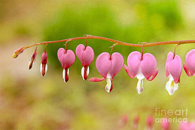 Photograph - Old-fashioned Bleeding Hearts by Karin Pinkham