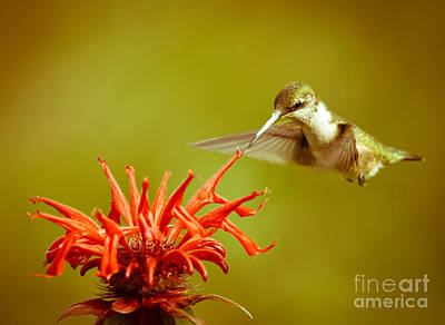 Photograph - Old Fashioned Hummingbird by Cheryl Baxter