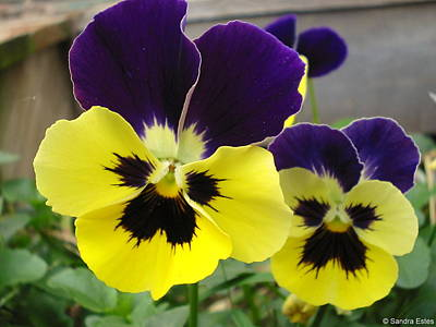 Old-fashioned Pansies Art Print by Sandra Estes