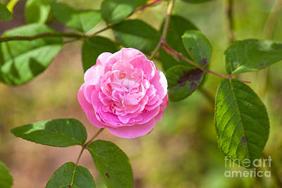 Photograph - Old Fashioned Rose by Lena Auxier