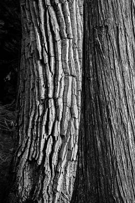 Photograph - Old Friends Cottonwood And Cedar Trees Glacier National Park Bw by Rich Franco