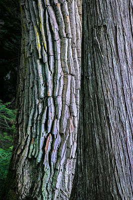 Photograph - Old Friends Cottonwood And Cedar Trees Glacier National Park Painted by Rich Franco