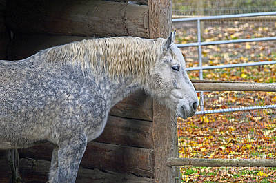 Photograph - Old Grey Horse by Sharon Talson