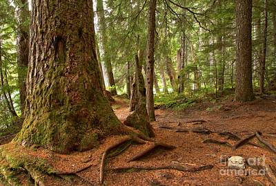 Photograph - Old Growth Cedar At Cheakamus Lake by Adam Jewell