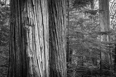 Photograph - Old Growth Cedars Glacier National Park Bw by Rich Franco