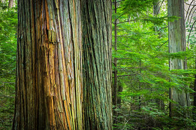Photograph - Old Growth Cedars Glacier National Park Painted by Rich Franco