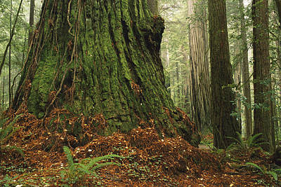 Photograph - Old Growth Coast Redwood North America by Gerry Ellis