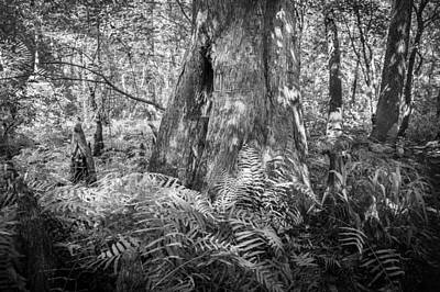 Cypress Swamp Photograph - Old Growth Cypress Cypress Knees Bw by Rich Franco