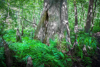 Cypress Swamp Photograph - Old Growth Cypress Cypress Knees Painted by Rich Franco
