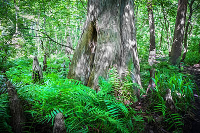 Cypress Swamp Photograph - Old Growth Cypress Cypress Knees by Rich Franco