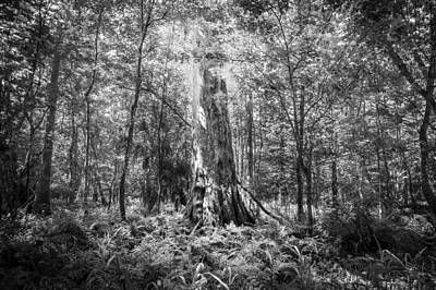 Cypress Swamp Photograph - Old Growth Cypress Tree Seminole County Environmental Center Bw by Rich Franco