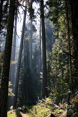 Photograph - Old Growth Firs by Jeanette French