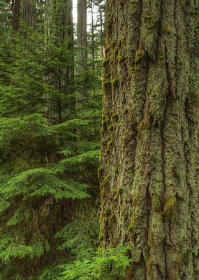 Photograph - Old Growth by Randy Hall