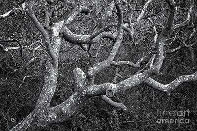 Photograph - Old-growth Sycamore by Stuart Gordon