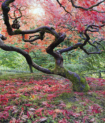 Nature Photograph - Old Japanese Maple Tree In Fall by David Gn