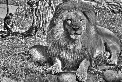 Photograph - Old King In Black And White by SC Heffner