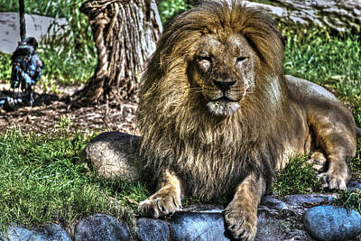 Photograph - Old King Lion by SC Heffner