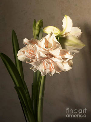 Photograph - Old Master Amaryllis by Brenda Kean
